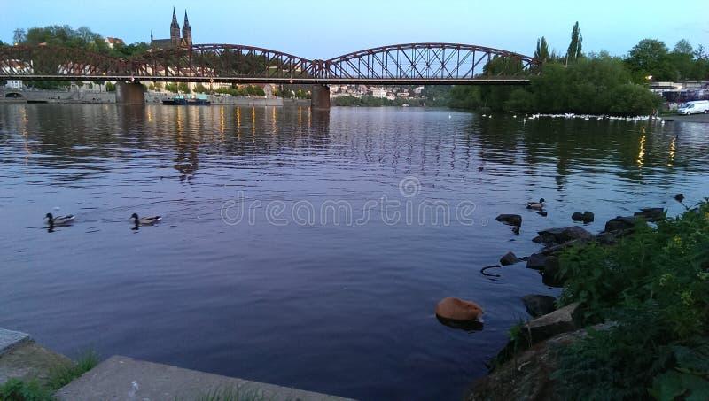 Pato del nutria del capibara del río del castillo del puente de Praga fotografía de archivo libre de regalías
