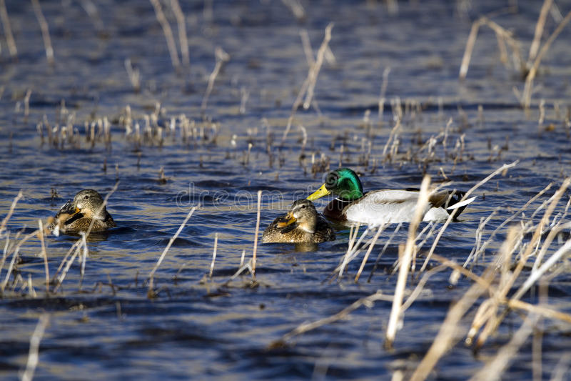 Pato del pato silvestre, platyrhynchos de las anecdotarios fotos de archivo libres de regalías