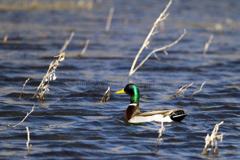 Pato del pato silvestre, platyrhynchos de las anecdotarios fotografía de archivo libre de regalías