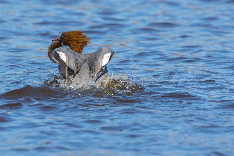 Pato del pollo de agua del Mergus fotos de archivo libres de regalías