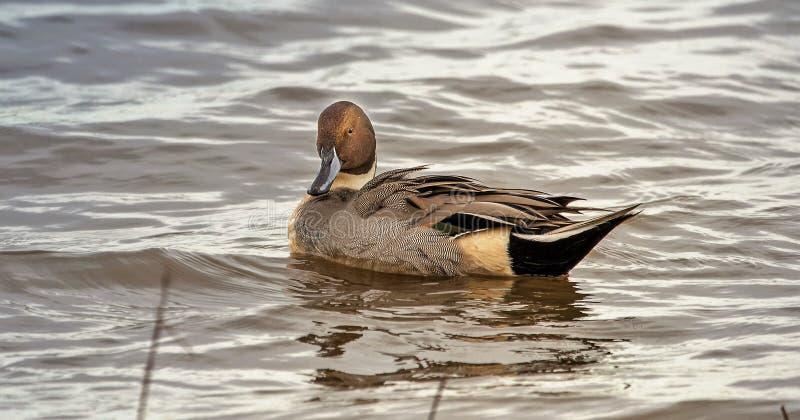 Pato del pato rojizo septentrional que mira de deslumbramiento imagen de archivo libre de regalías