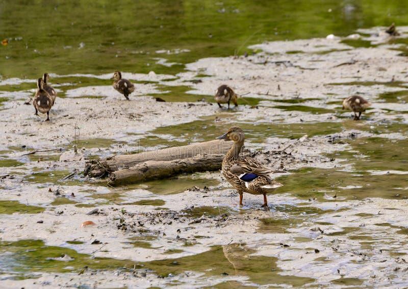 Pato del pato silvestre de la madre y sus anadones en un lago bajo en el parque de Watercrest, Dallas, Tejas imagen de archivo