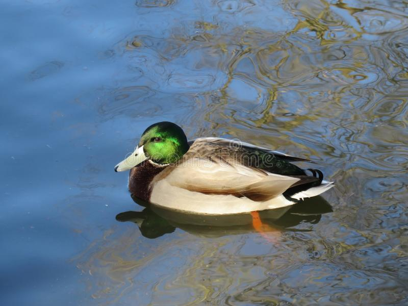Pato del pato silvestre en la charca fotos de archivo