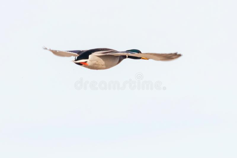 Pato del pato silvestre en vuelo, temporada de caza del pato fotografía de archivo libre de regalías