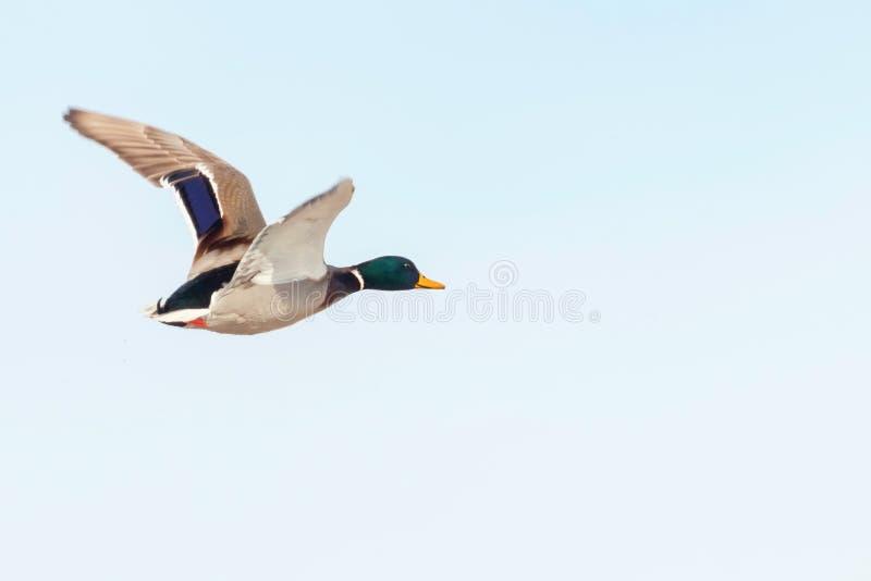 Pato del pato silvestre en vuelo, temporada de caza del pato foto de archivo libre de regalías