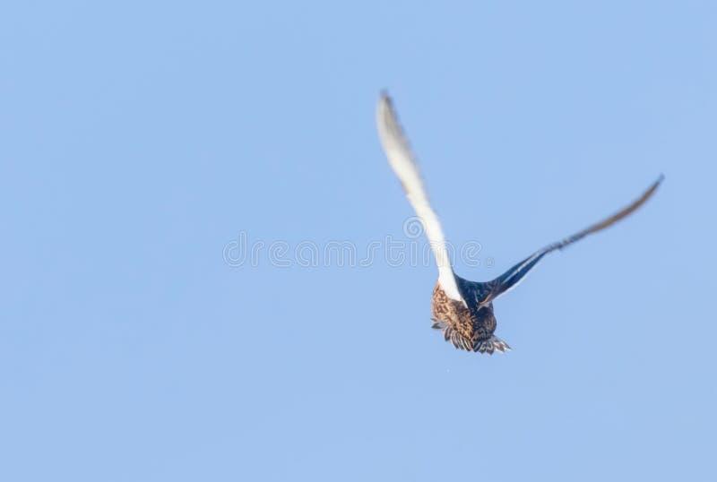 Pato del pato silvestre en vuelo, temporada de caza del pato fotografía de archivo