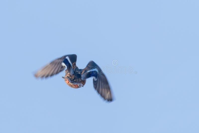 Pato del pato silvestre en vuelo, temporada de caza del pato imágenes de archivo libres de regalías
