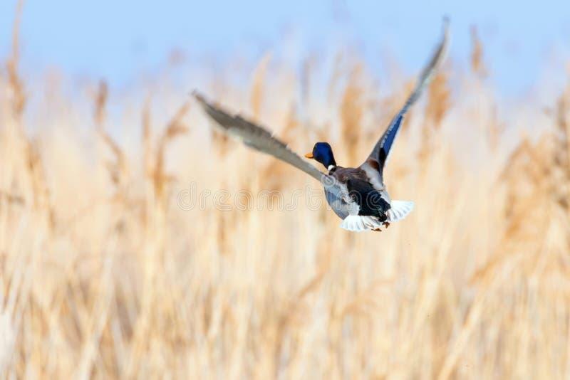 Pato del pato silvestre en vuelo, temporada de caza del pato fotos de archivo libres de regalías