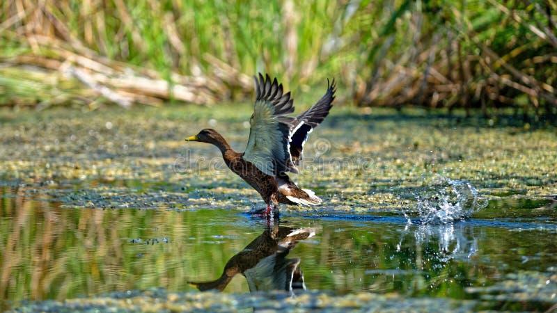 Pato del pato silvestre que saca en el delta de Danubio imagen de archivo libre de regalías