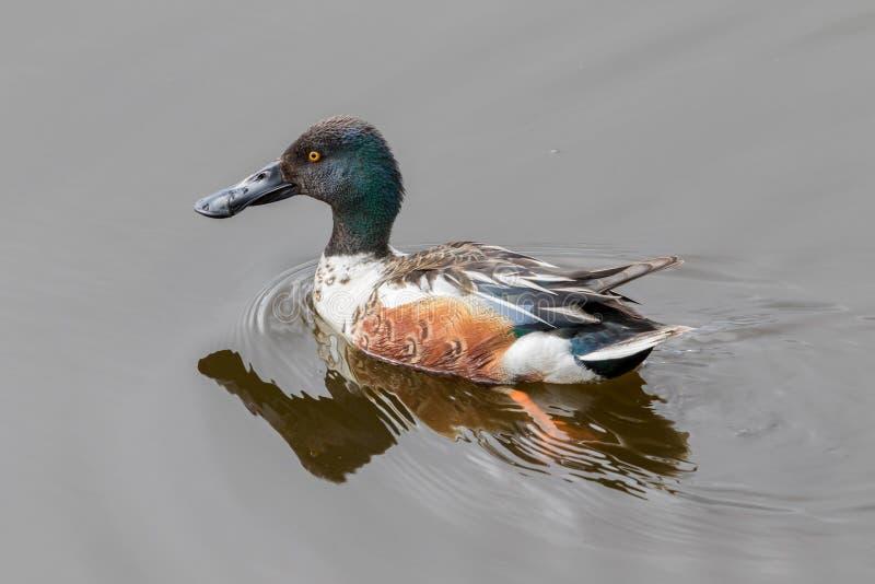 Pato del varón del pato cuchara septentrional imágenes de archivo libres de regalías