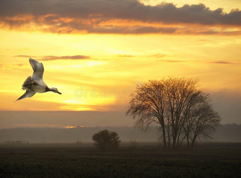 Pato del vuelo en la puesta del sol en campo fotografía de archivo libre de regalías
