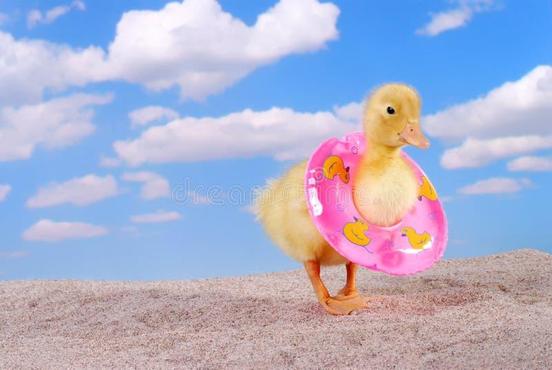 Pato do bebê que anda na praia imagem de stock royalty free