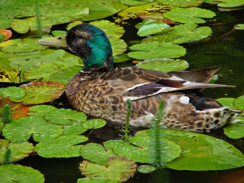 Pato do pato selvagem fotografia de stock royalty free