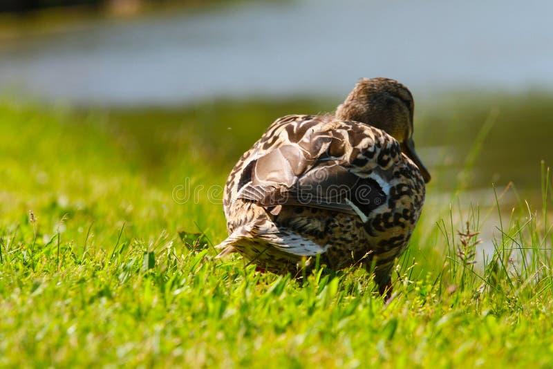 Pato do pato selvagem da mamãe imagens de stock royalty free