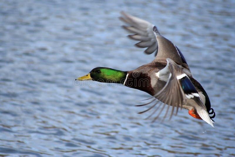 Pato do pato selvagem de Greenhead imagens de stock