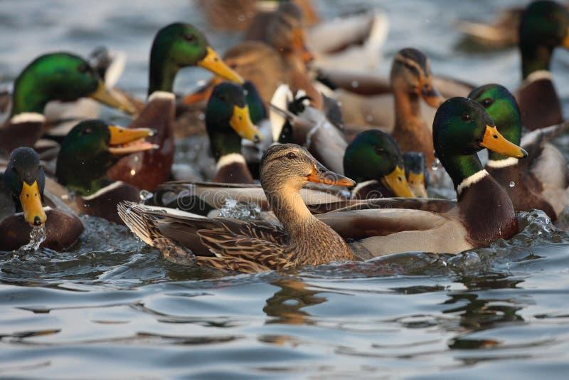 Pato do pato selvagem, homem e natação fêmea na lagoa. imagens de stock royalty free
