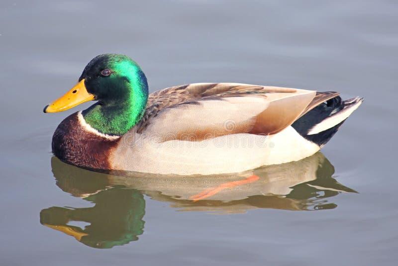 Pato do pato selvagem na baía foto de stock royalty free
