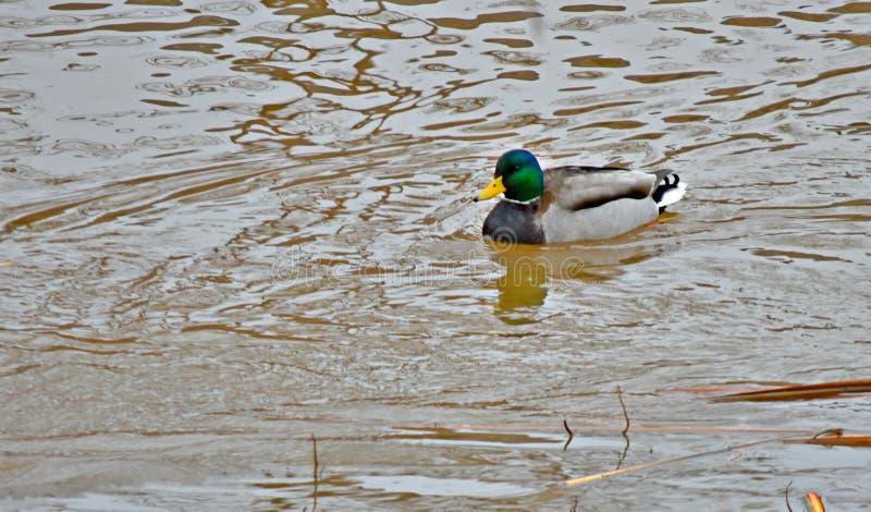 Pato do pato selvagem na lagoa, nanowatt Oklahoma City imagens de stock