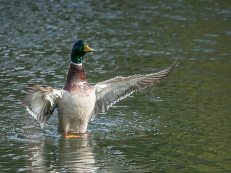 Pato do pato selvagem, platyrhynchos dos Anas Lagoa de Blackford, Edimburgo imagem de stock