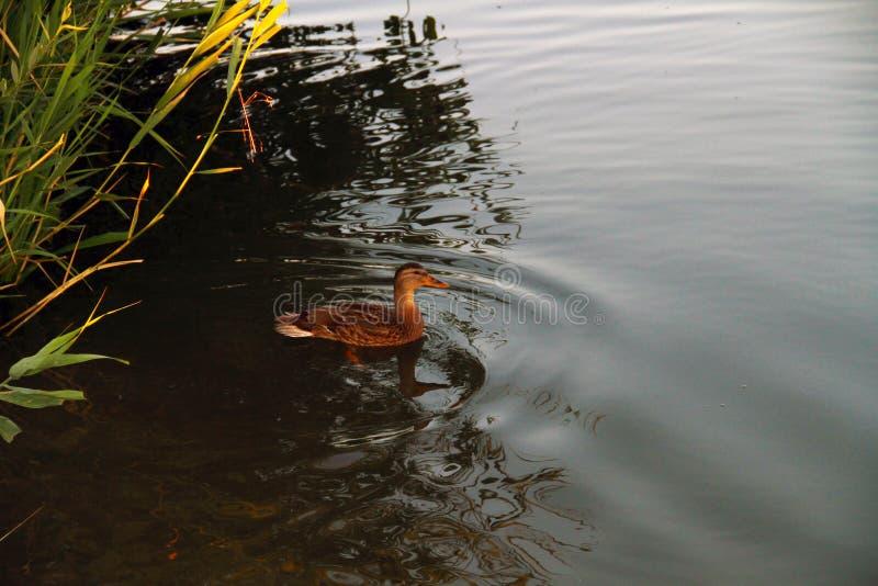 Pato do pato selvagem que decola de um lago imagens de stock royalty free