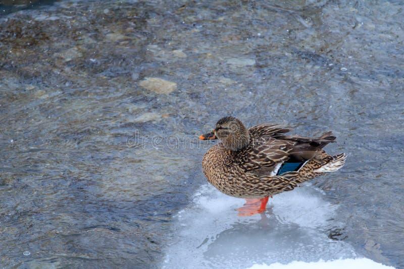 Pato do pato selvagem que está no remendo do gelo imagens de stock