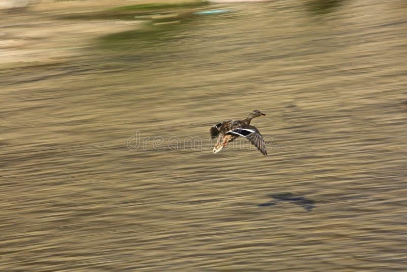 Pato do pato selvagem do voo imagens de stock