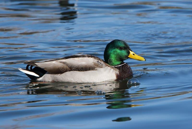 Pato Drake del pato silvestre fotografía de archivo libre de regalías