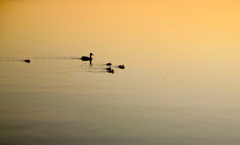 Pato e família da mãe na nadada do amanhecer fotografia de stock royalty free