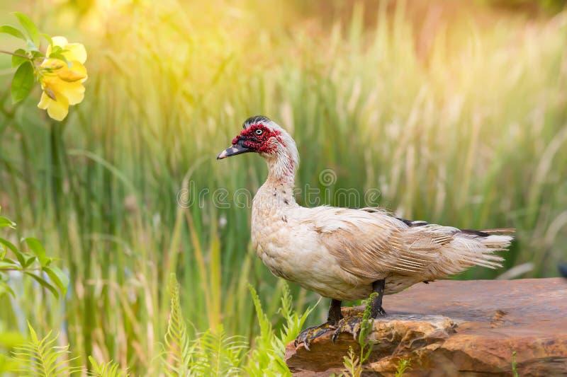 Pato e flor brancos fotos de stock royalty free