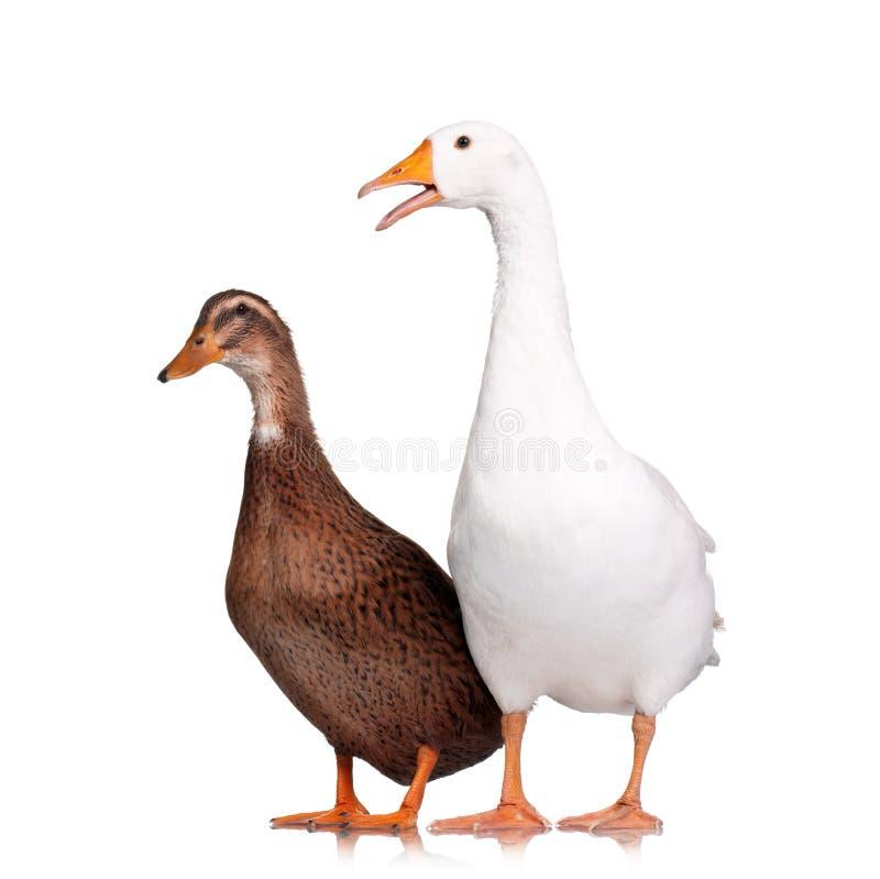 Pato e ganso imagens de stock