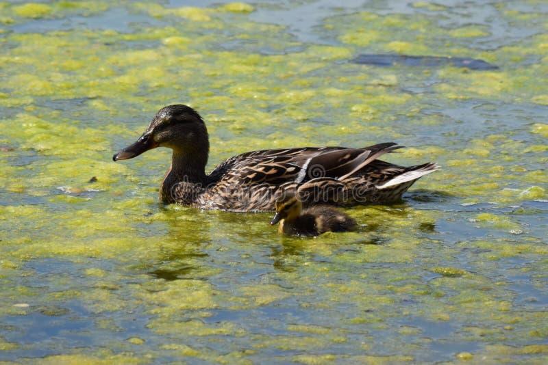 Pato e patinho da mãe fotografia de stock royalty free