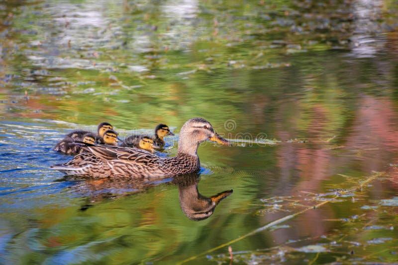 Pato e patinhos da mãe do pato selvagem que nadam no rio foto de stock