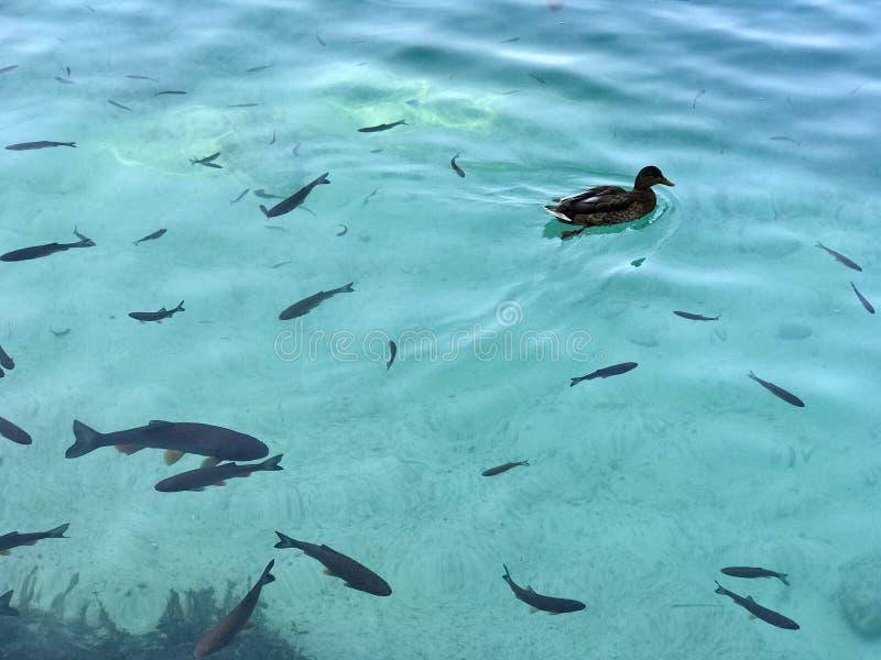 Pato e peixes fotografia de stock