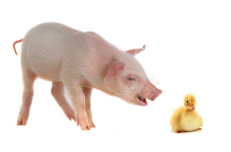 Pato e porco imagem de stock