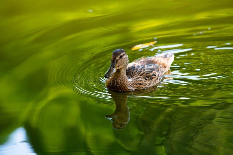 Pato em economias da ecologia da natureza da reflexão da água fotografia de stock royalty free