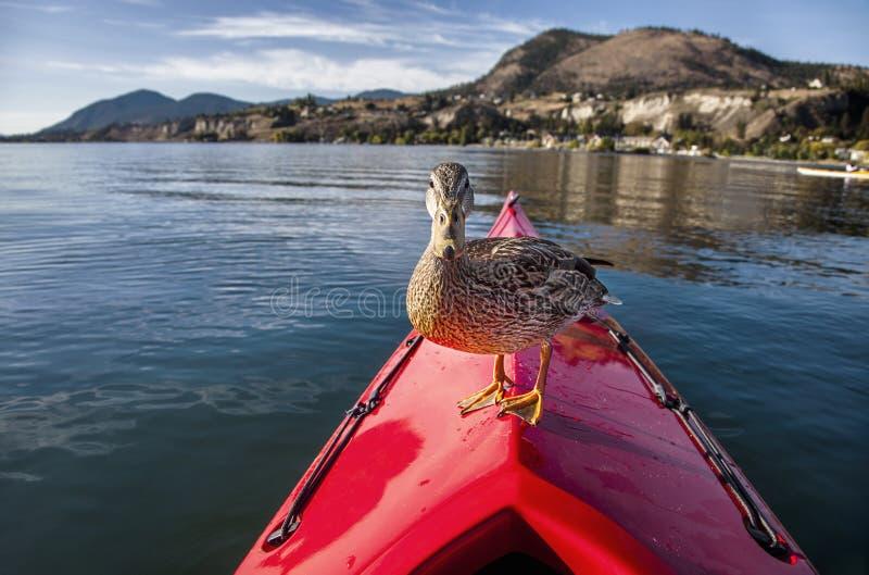 Pato em um caiaque fotografia de stock royalty free
