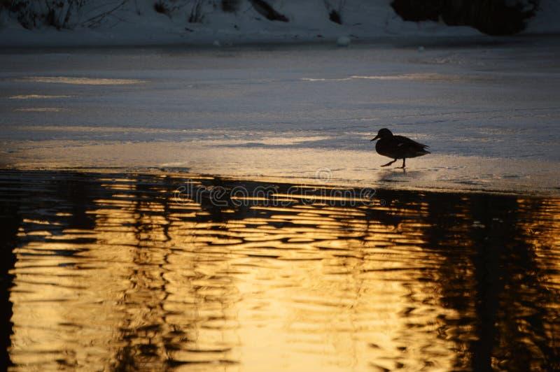 Pato em uma lagoa congelada no crepúsculo fotografia de stock royalty free