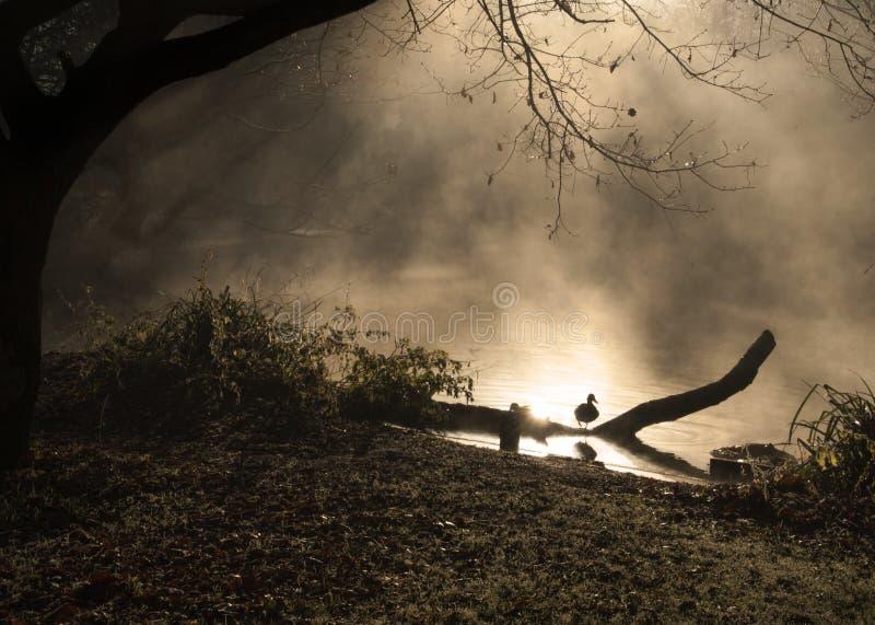 Pato, emergindo névoa dourada da lagoa enchida fotos de stock royalty free