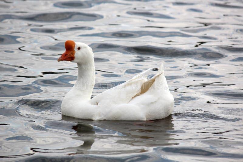 Download Pato en el agua imagen de archivo. Imagen de río, natación - 41903705