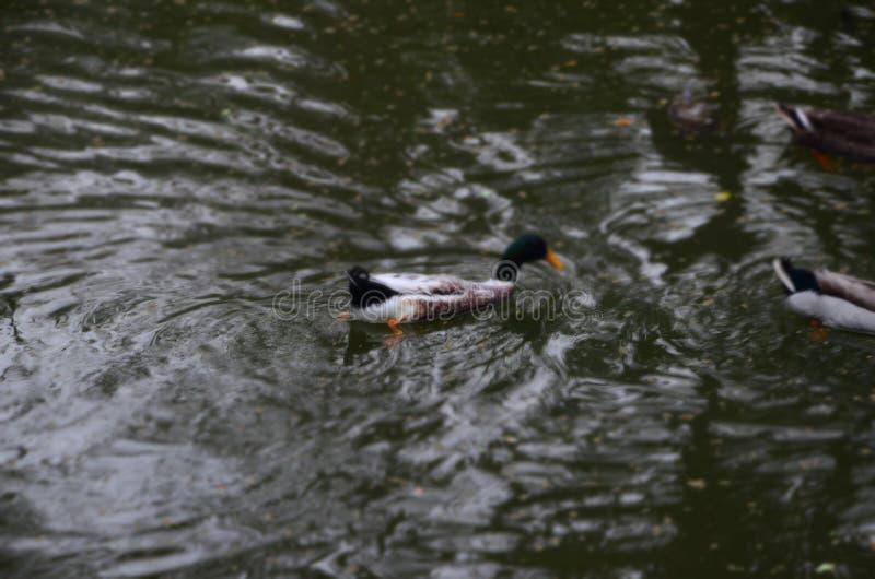 Pato en el agua imágenes de archivo libres de regalías