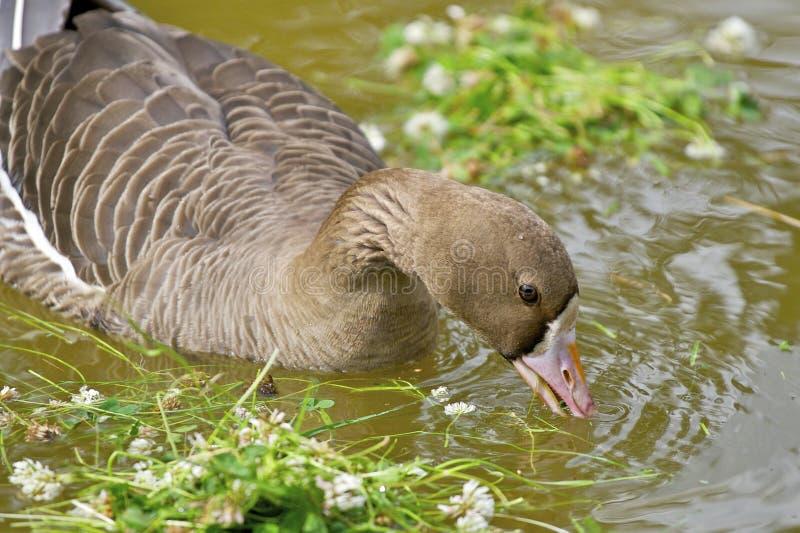 Pato en el agua que come las flores imagen de archivo libre de regalías