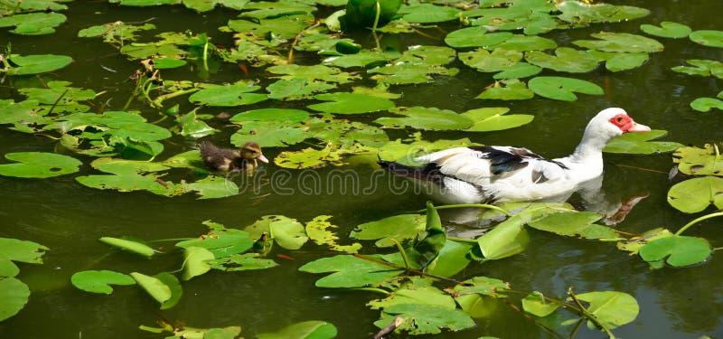Pato en el lago con su anadón fotos de archivo libres de regalías