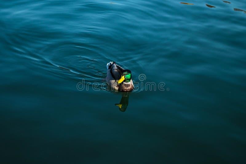 Pato en el río imagen de archivo libre de regalías