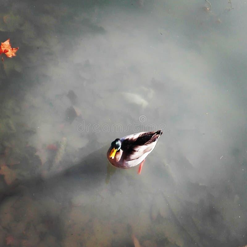 Pato en un lago imágenes de archivo libres de regalías