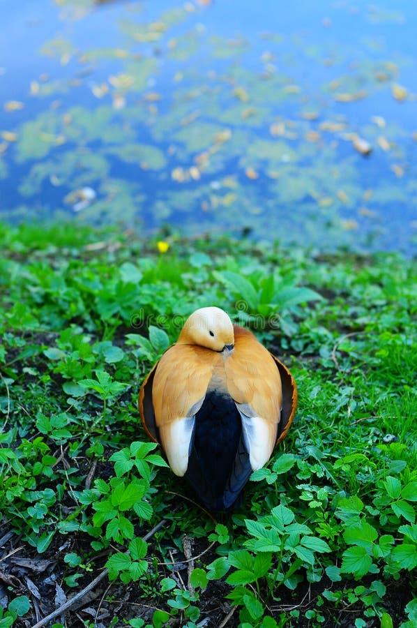 pato en una charca fotografía de archivo