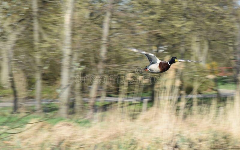 Pato entrante do pato selvagem em voo foto de stock royalty free