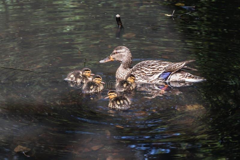 Pato fêmea adulto novo cinzento e marrom e um grupo de seus patinhos macios alaranjados e amarelos que nadam na lagoa no foto de stock royalty free
