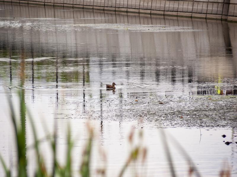 Pato fêmea do pato selvagem em um lago calmo fotos de stock