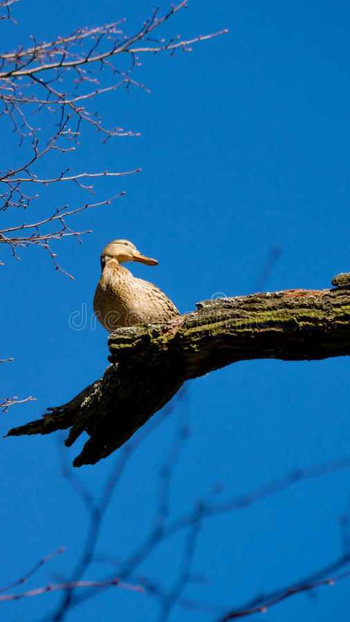 Pato fêmea selvagem que senta-se no ramo de árvore imagem de stock royalty free