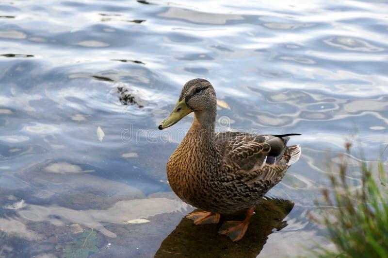 Pato femenino del pato silvestre fotos de archivo